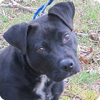 Adopt A Pet :: Tango-Urgent Black Dog Discoun - Harrisonburg, VA