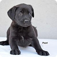 Adopt A Pet :: Pearl - Old Saybrook, CT