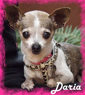 Chihuahua Dog for adoption in Anaheim Hills, California - Daria