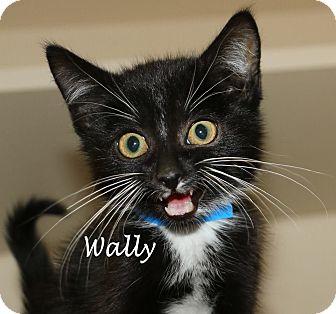 Domestic Shorthair Kitten for adoption in Idaho Falls, Idaho - Wally