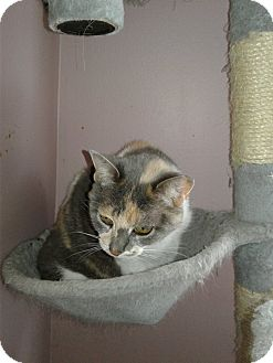 Domestic Shorthair Cat for adoption in wayne, Michigan - Meowz