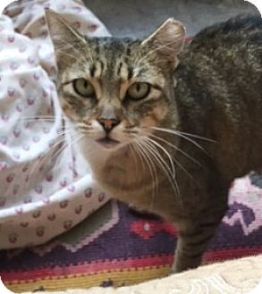 Domestic Mediumhair Cat for adoption in Madisonville, Louisiana - Milly