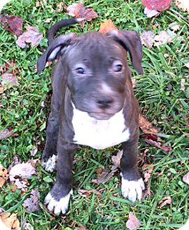 Bull Terrier Mix Puppy for adoption in Cincinnati, Ohio - Bentley