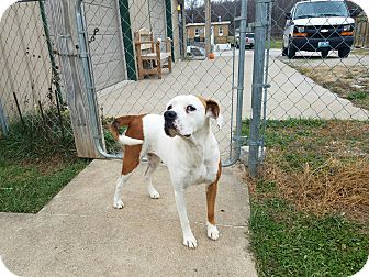 Boxer Mix Dog for adoption in Moberly, Missouri - Ivory