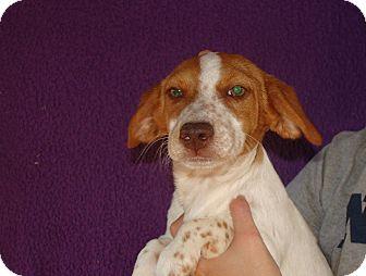 Beagle Mix Puppy for adoption in Oviedo, Florida - Xena
