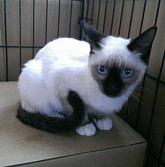 Snowshoe Cat for adoption in Calimesa, California - Delilah