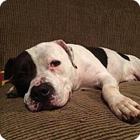 American Bulldog Dog for adoption in Fredericksburg, Virginia - Spotsylvania Shelter #16-3916 'Twin'