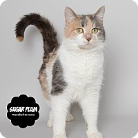 Adopt A Pet :: Sugar Plum - Wyandotte, MI