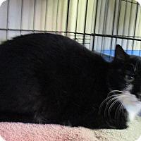 Adopt A Pet :: Mittens - Reeds Spring, MO