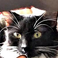 Domestic Longhair Cat for adoption in Burlington, North Carolina - ELONORA