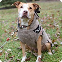 Pit Bull Terrier Mix Dog for adoption in Dayton, Ohio - Savannah Bee