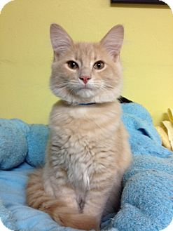 Domestic Mediumhair Kitten for adoption in Byron Center, Michigan - McGillicuddy