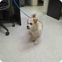 Adopt A Pet :: Perky - Antioch, IL
