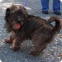 Adopt A Pet :: Toto - Brattleboro, VT