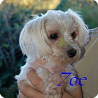 Maltese Dog for adoption in Herndon, Virginia - Zoe (GA)