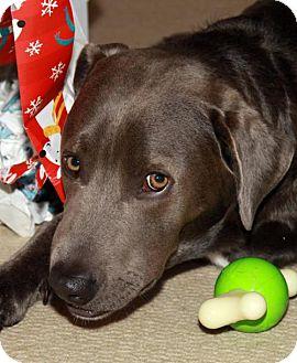 Labrador Retriever Mix Dog for adoption in San Diego, California - Z Courtesy Listing - Duke