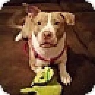 Terrier (Unknown Type, Medium) Mix Dog for adoption in Essington, Pennsylvania - Mia-Sponsored Adoption Fee!