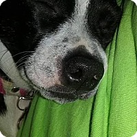 Adopt A Pet :: Yoda - Weatherford, TX