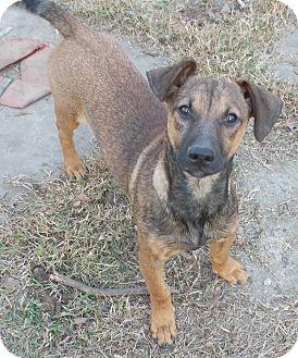 Dachshund Mix Dog for adoption in Dallas, Texas - Herbie