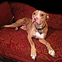 American Pit Bull Terrier Dog for adoption in Des Moines, Iowa - Simon