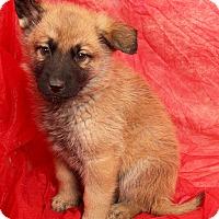 Adopt A Pet :: Delaney Shepherd - St. Louis, MO