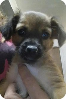 Chihuahua Mix Puppy for adoption in House Springs, Missouri - blossom