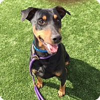 Adopt A Pet :: Cuddles - Very Affectionate - Bend, OR