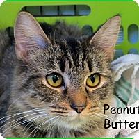 Adopt A Pet :: Peanut Butter - Warren, PA