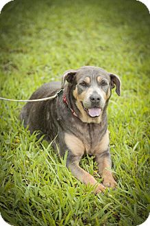 Labrador Retriever/Doberman Pinscher Mix Dog for adoption in Davie, Florida - Suzy <3