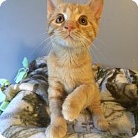 Domestic Shorthair Cat for adoption in O'Fallon, Missouri - Ozzie