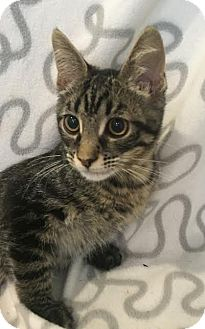 Domestic Shorthair Kitten for adoption in Westminster, California - Pistachio
