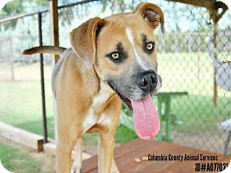 Boxer Mix Dog for adoption in Grovetown, Georgia - A077021