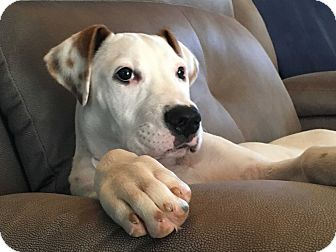 Pit Bull Terrier/Great Dane Mix Puppy for adoption in Baltimore, Maryland - Vera