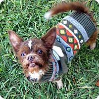 Brussels Griffon Mix Dog for adoption in Arlington, Virginia - Gizmo