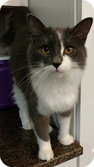 Domestic Longhair Cat for adoption in Shelbyville, Kentucky - Clyde