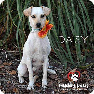 Chihuahua/Dachshund Mix Dog for adoption in Council Bluffs, Iowa - Daisy