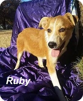 Collie Mix Dog for adoption in Manchester, Connecticut - Ruby in CT