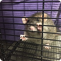 Adopt A Pet :: Chief; I'm a cuddlebug! - Manchester, NH