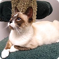 Snowshoe Cat for adoption in san diego, California - Bobby