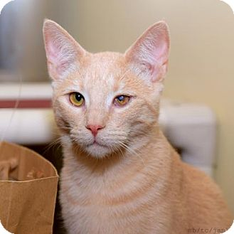 Domestic Shorthair Kitten for adoption in Morgan Hill, California - Pirate