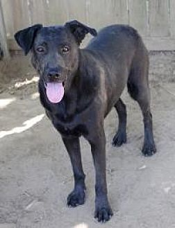 Labrador Retriever Dog for adoption in Memphis, Tennessee - Butch