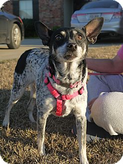 rat terrier australian cattle dog mix daisy adopted dog baton rouge la australian cattle 311