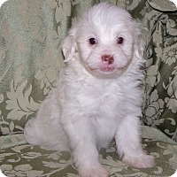 Adopt A Pet :: Marshmallow - La Habra Heights, CA