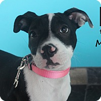 Adopt A Pet :: Maizy - Chicago, IL