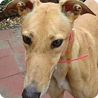 Adopt A Pet :: Itex Joan Jet - Longwood, FL