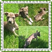 Adopt A Pet :: Fawn - Marlton, NJ
