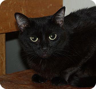 Domestic Shorthair Cat for adoption in Washington, Pennsylvania - Kohl
