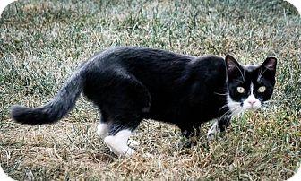 Domestic Shorthair Kitten for adoption in Dublin, Virginia - Socks (a.k.a. Boots)