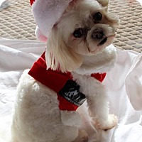 Adopt A Pet :: Chi Chi - Windermere, FL