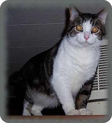 Domestic Shorthair Cat for adoption in Brookville, Indiana - Sergeant